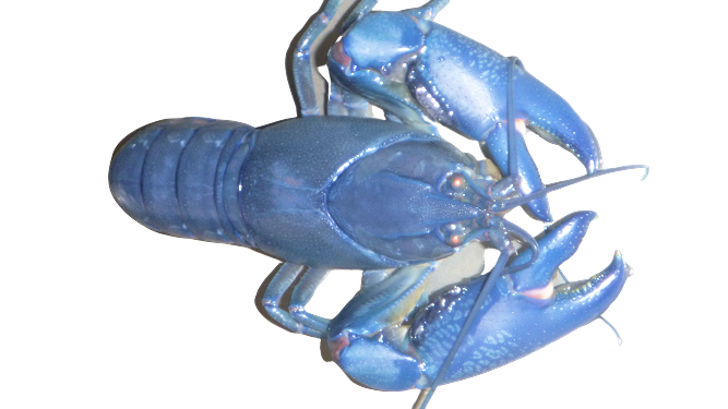 Blue Pearl Yabby